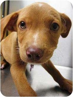 Golden Retriever/Labrador Retriever Mix Puppy for adoption in Preston, Connecticut - Jackson