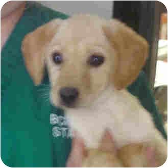Labrador Retriever/Beagle Mix Puppy for adoption in Manassas, Virginia - Kittie