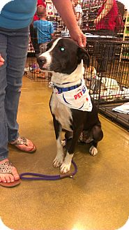 Border Collie Mix Dog for adoption in Raeford, North Carolina - Skippy