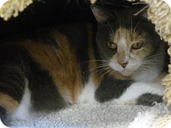 Domestic Shorthair Cat for adoption in Gainesville, Florida - Sputter
