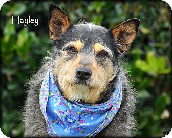 Australian Cattle Dog/Terrier (Unknown Type, Medium) Mix Dog for adoption in Vista, California - Hayley