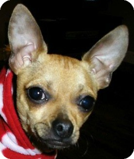 Chihuahua Mix Dog for adoption in Conway, Arkansas - Brownie