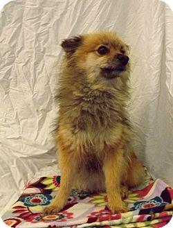 Pomeranian Dog for adoption in Fort Riley, Kansas - Foxy