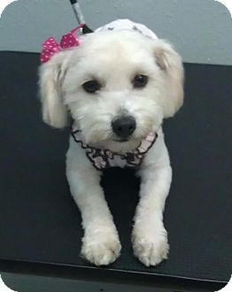 Poodle (Miniature) Dog for adoption in South Gate, California - Eva