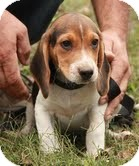 Beagle Puppy for adoption in Spring Valley, New York - Spot