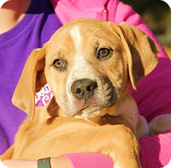 Labrador Retriever/Boxer Mix Puppy for adoption in Pewaukee, Wisconsin - TOBY - darling, friendly Lab p