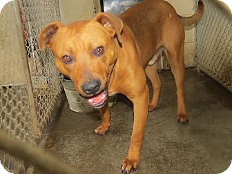 Carolina Dog/Pit Bull Terrier Mix Dog for adoption in Henderson, North Carolina - Sparky
