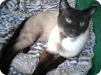 Siamese Cat for adoption in Harrisburg, North Carolina - Bailey