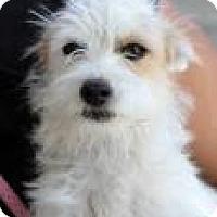 Adopt A Pet :: Buzz - Phoenix, AZ