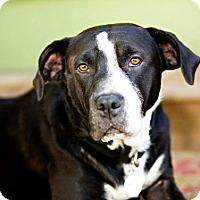Adopt A Pet :: Angel - Eugene, OR