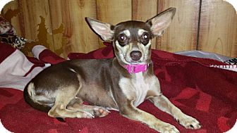 Chihuahua Dog for adoption in Rosemount, Minnesota - Luci