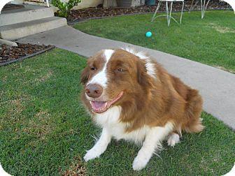 Border Collie Dog for adoption in San Pedro, California - HAWKEYE (Courtesy List)