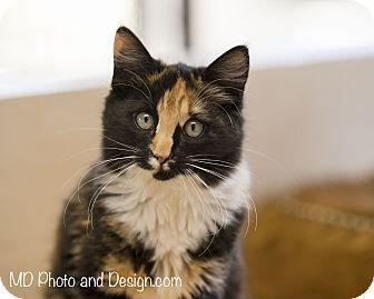 Domestic Mediumhair Kitten for adoption in Fountain Hills, Arizona - Flame