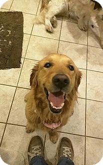 Golden Retriever Mix Dog for adoption in San Diego, California - Honey