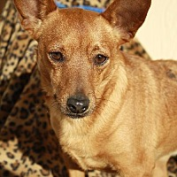Chihuahua/Terrier (Unknown Type, Medium) Mix Dog for adoption in Elk Grove, California - RACS