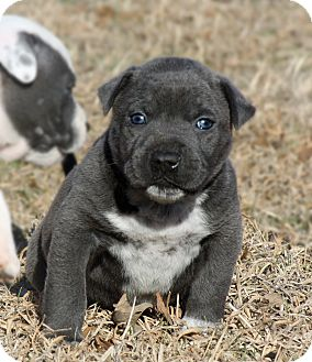 Boxer/Bulldog Mix Puppy for adoption in MILWAUKEE, Wisconsin - BONNIE