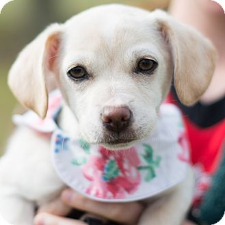 Terrier (Unknown Type, Small) Mix Puppy for adoption in Denver, Colorado - Lainey