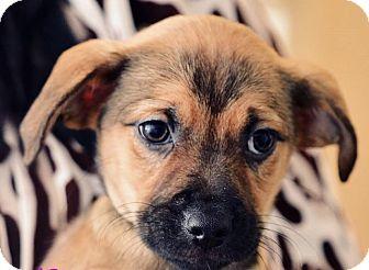 Shepherd (Unknown Type)/Labrador Retriever Mix Puppy for adoption in Jay, Maine - PUppies