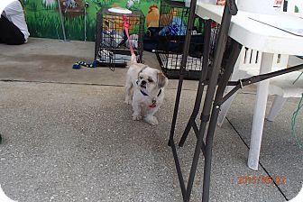 Shih Tzu/Lhasa Apso Mix Dog for adoption in Malabar, Florida - Lucky Bucky