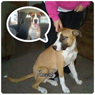 Anatolian Shepherd Mix Dog for adoption in Pueblo, Colorado - Roscoe