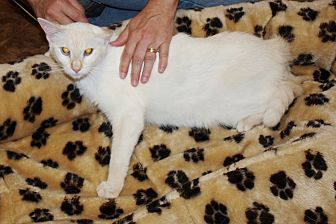 Siamese Cat for adoption in Jackson, Mississippi - Sasha