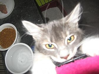 Domestic Shorthair Cat for adoption in Coos Bay, Oregon - Sacha