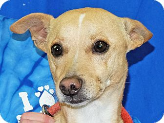 Chihuahua Mix Dog for adoption in Spokane, Washington - Dutch