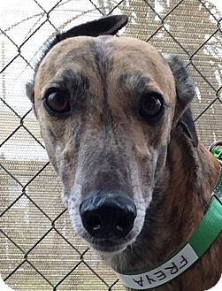 Greyhound Dog for adoption in Longwood, Florida - Flying Freya