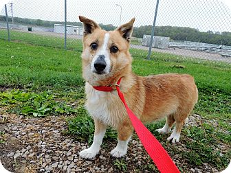 Corgi Mix Dog for adoption in Sullivan, Missouri - Rudy