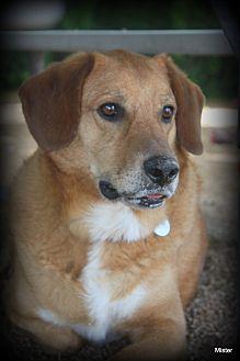 Labrador Retriever/Golden Retriever Mix Dog for adoption in O Fallon, Illinois - Buzz