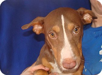 Treeing Walker Coonhound/Labrador Retriever Mix Dog for adoption in Oviedo, Florida - Cj