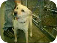 Labrador Retriever/Shepherd (Unknown Type) Mix Dog for adoption in Wauseon, Ohio - Neko..ADOPTED