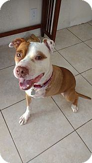 American Pit Bull Terrier/Hound (Unknown Type) Mix Dog for adoption in San Diego, California - Champion