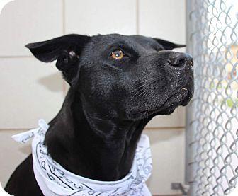 Labrador Retriever/German Shepherd Dog Mix Dog for adoption in Allison Park, Pennsylvania - Amber