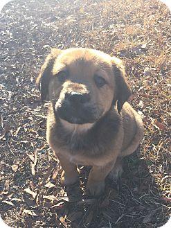 Shepherd (Unknown Type) Mix Puppy for adoption in Smithfield, North Carolina - Annabelle