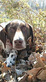 German Shorthaired Pointer Dog for adoption in Alma, Wisconsin - Festus