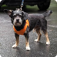 Miniature Schnauzer/Border Terrier Mix Dog for adoption in Arlington, Virginia - Banjo (JoJo) - ADOPTION PENDING!!