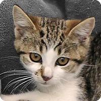 Adopt A Pet :: Wyatt - Redondo Beach, CA