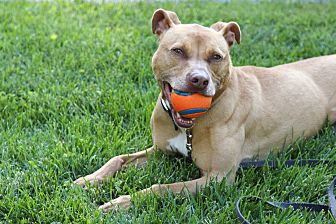 American Pit Bull Terrier Mix Dog for adoption in Reisterstown, Maryland - Leia