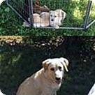 Adopt A Pet :: Gold N Labs Pup 3