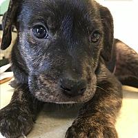 Adopt A Pet :: Linguinie - Pasta Litter - Acworth, GA