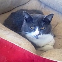 Adopt A Pet :: Sox - Somerset, KY