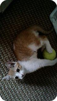 Domestic Shorthair Cat for adoption in Honolulu, Hawaii - Sweetie