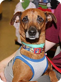 Jack Russell Terrier/Italian Greyhound Mix Dog for adoption in Media, Pennsylvania - Eddie (July Special-$100)