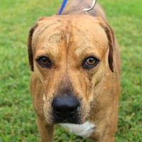 Adopt A Pet :: Banjo - Bradenton, FL