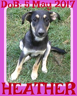 German Shepherd Dog/Husky Mix Puppy for adoption in White River Junction, Vermont - HEATHER