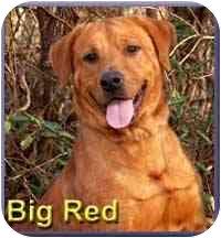 Labrador Retriever Mix Dog for adoption in Aldie, Virginia - Big Red