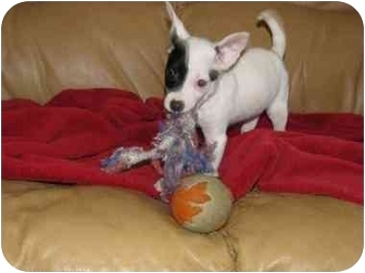 Parson Russell Terrier Mix Puppy for adoption in Fredericksburg, Virginia - Petey