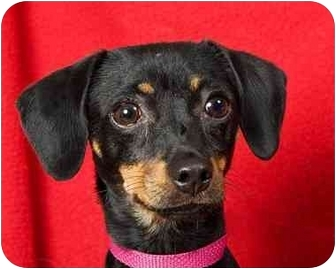 Miniature Pinscher Mix Dog for adoption in Anna, Illinois - MOLLY