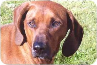 Redbone Coonhound Dog for adoption in Greensburg, Pennsylvania - Roscoe